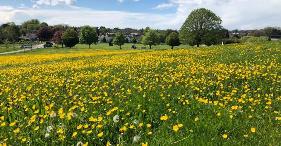 Buttercups in the Showfield, Frome