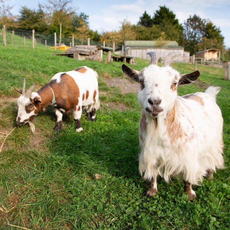 Upper Vobster Farm goats