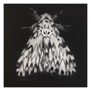 Charcoal drawing of moth by Abigail Reed